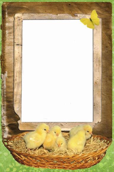 Зеленые, желтые рамки. Рамка, фотоэффект: Фоторамка с цыплятами. Рамка для фотографии, желтые цыплята в корзинке, солома, желтая бабочка.