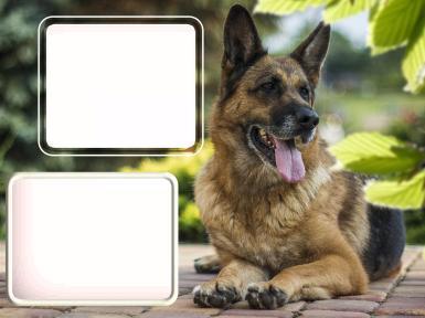 С двумя вырезами. Рамка, фотоэффект: Овчарка. Фоторамка на два выреза, с собакой.
